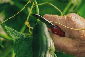 Gurken selbst züchten mittels Rankgitter